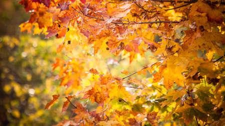 Helle Blätter im Herbst in der natürlichen Umwelt. Fallbäume, gelb, orange, natur