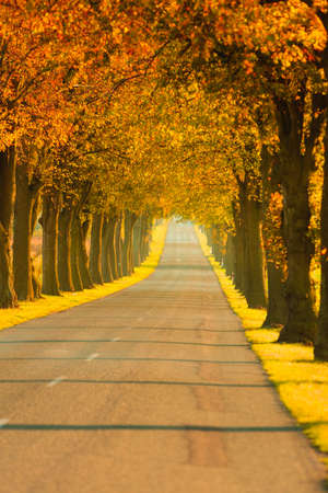 road autumnal: Road running through autumn fall tree alley. Beautiful autumnal landscape, orange foliage Stock Photo