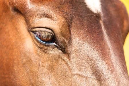 animal eye: Close up of horse animal eye snout.