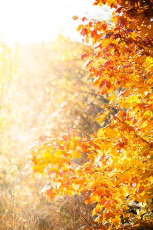 fall trees: Bright autumn leaves in the natural environment. Fall maple trees, yellow orange nature background