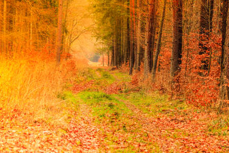 road autumnal: Fall landscape. Country road with red orange leaves in the autumn forest. Sunny autumnal day in Poland Stock Photo