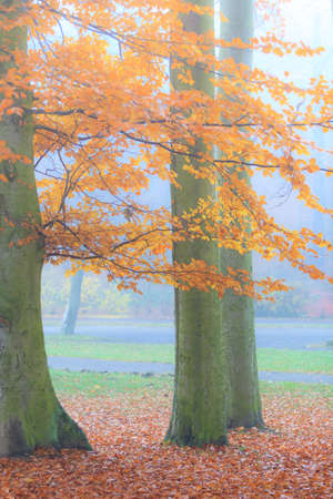 fall trees: misty autumn park on foggy day. Autumnal scenery, beauty landscape. Fall trees and leaves.