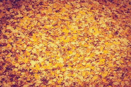 foliage tree: Background or texture of fallen autumn fall season foliage tree leaves.