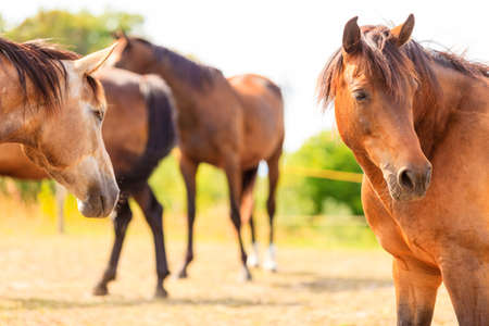 graceful: Majestic graceful brown horses in meadow field. Tranquil countryside scene. Stock Photo