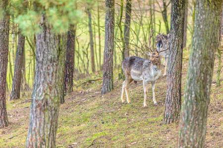 flocking: Herd of deer in the wild. Deer flock in natural habitat Stock Photo