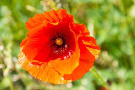 herbage: Closeup wild red poppy flower on green meadow, beauty in nature. Stock Photo