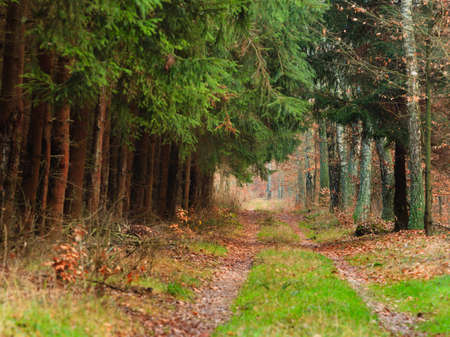 road autumnal: Forest landscape. Country road path with green spruce trees. Beauty autumnal day. Stock Photo