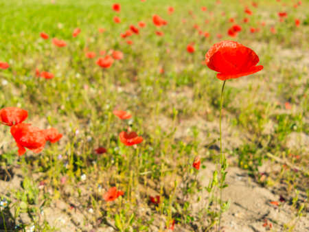 fever plant: Field of poppies. Red poppy flowers on meadows outside. Stock Photo