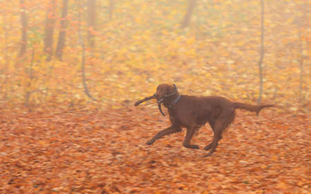 retrieving: dog retrieving a stick running on a background of autumn color leaves, foggy day