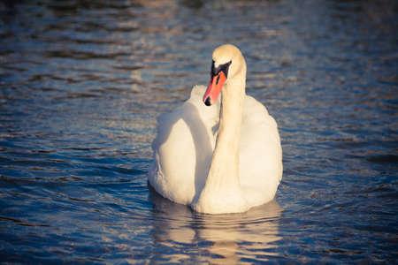 swimming bird: Swan bird swimming on blue sea water