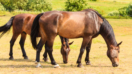 graceful: Majestic graceful horses in meadow field. Tranquil countryside scene. Stock Photo