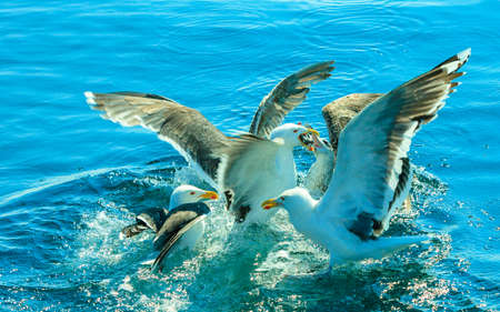 food fight: Animals nature and action. Flock of seagulls in fight for food in the water. Stock Photo