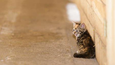 meowing: Little cute kitten kitty cat pet animal meowing outdoor outside.
