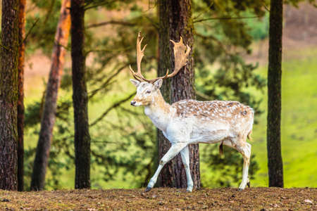 fallow deer: Young male fallow deer buck in forest. Animals beauty in nature.