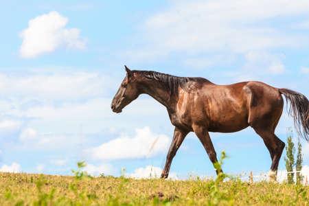 graceful: Majestic graceful brown horse in meadow field. Tranquil countryside scene.