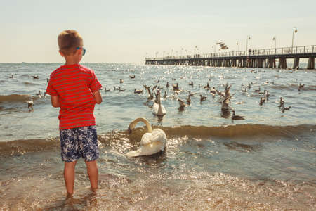animals feeding: Care and safety of animals. Little boy kid feeding playing with beautiful swan. Child having fun with big white sea bird.