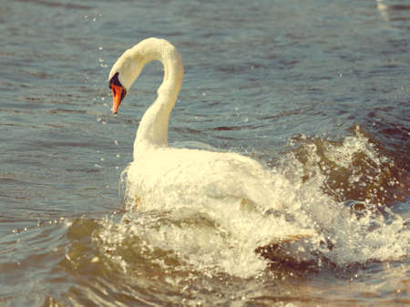 sealife: Wildlife and sealife concept. Beautiful white adult swan on sea ocean lake. Wild bird animal swimming on water in sunny day.