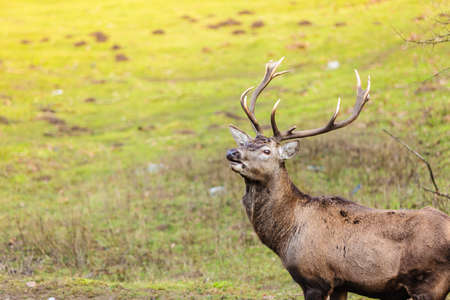 cervus: Majestic powerful adult male red deer stag on meadow. Animals in natural environment, beauty in nature.