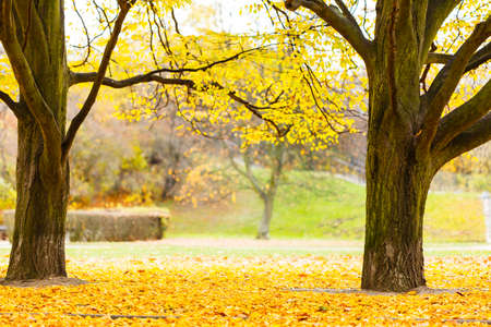 Nature outdoor foliage season concept. Trees in park. Old flora in autumnal scenery surrounded by golden leaves.