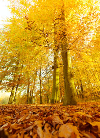 woodland scenery: Autumnal scenery in forest. Woodland trees leaves in fall. Nature outdoor vegetation landscape concept.