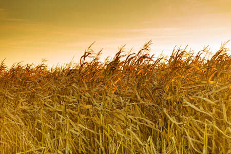 Dry corn field at the sunset.  Rural landscape