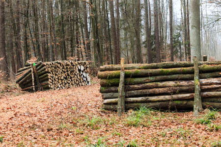 Wooden logs. Timber logging in autumn forest. Freshly cut tree logs piled up. Autumnal fall scenery.