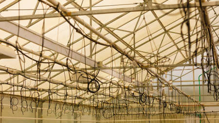 hydration: Flower hydration, flowers market concept. Lot of watering cables hanging under ceiling in greenhouse