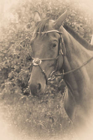 stirrup: Sepia potrait of arabian dark horse with reins, stirrup and headstall. Animals concept. Stock Photo