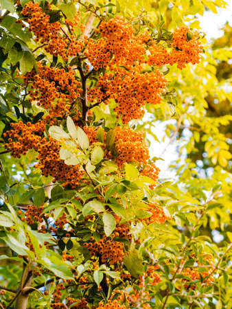 sorbus aucuparia: Autumn red rowan berries on tree. Rowanberry ashberry in the fall in natural setting. Sorbus aucuparia.