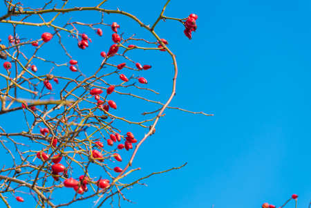 Detailed closeup of bush branches with blooming wild roses on clear blue sky.