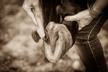 Close up person cleaning horse hoof with horseshoes. Taking care of animals concept. Stock Photo