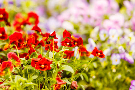 Gardening, nature concept. Closeup of beautiful little red flowers, pansies in flowerbed Stock Photo