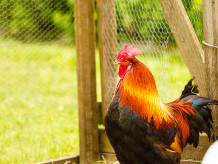 Ornithology, agriculture, homeste animals concept. Beautiful colorful rooster closeup in fence cage outside.