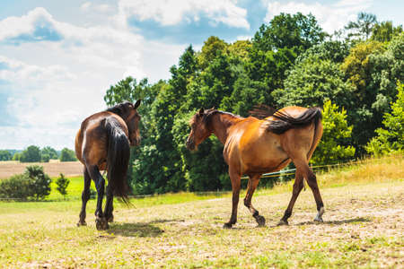 Two brown wild horses on meadow idyllic field. Agricultural mammals animals in natural environment. Stock Photo