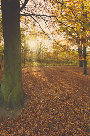 enviroment: Nature outdoor beauty scenery concept. Autumnal trees in sunshine. Woodland during fall season covered by dried foliage. Stock Photo