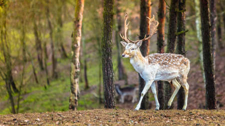 Young male fallow deer buck in forest. Animals beauty in nature.