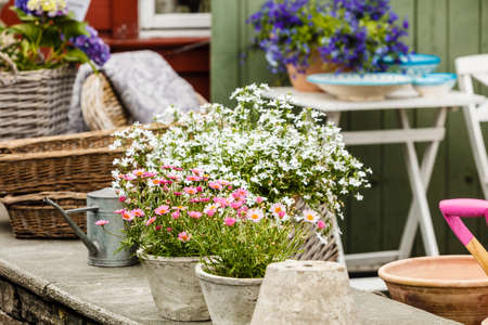 Gardening, nature concept. Closeup of beautiful little white pink flowers, daisies in pots outside