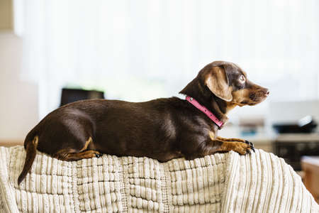 Little dachshund purebreed long bodied short legged small dog sitting relaxing and chilling on sofa couch indoor.