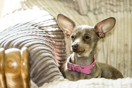 Little pinscher ratter prazsky krysarik purebreed small dog sitting relaxing and chilling on sofa couch indoor. Stock Photo