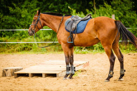 Beautiful brown arabian breed horse with saddle on countryside meadow. Animal concept. Stock Photo - 91017452
