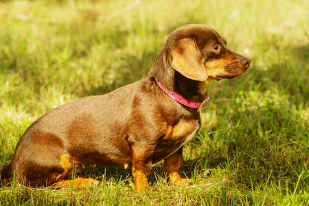 Little dachshund purebreed long bodied short legged small dog playing outside on grass during summer spring weather Stock Photo