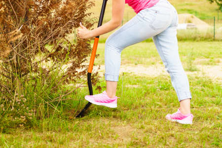 Woman gardener digs ground soil with shovel for removal withered dried thuja tree from her backyard.