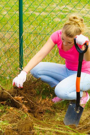 Woman gardener digs ground soil with shovel for removal withered dried thuja tree from her backyard. Yard work around the house