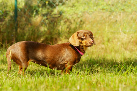 Little dachshund purebreed long bodied short legged small dog playing outside on grass during summer spring weather Stockfoto