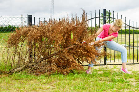 Woman gardener removing withered dried thuja tree from her backyard. Yard work around the house