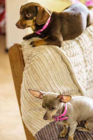 Little dogs dachshund and pinscher ratter prazsky krysarik crossbreed chilling on sofa indoor relaxing. Stock Photo