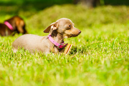 Little dogs dachshund and pinscher ratter prazsky krysarik crossbreed playing outside on grass during summer spring weather Stock Photo