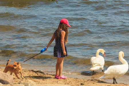 Care and safety of animals. Little girl kid feeding playing with beautiful swan. Child having fun with big white sea bird. 스톡 콘텐츠