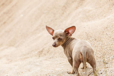 Little pinscher ratter prazsky krysarik crossbreed small dog playing outside on sand during summer spring weather Stock Photo
