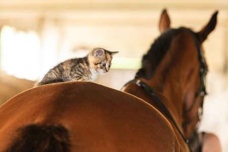 Little cute kitten kitty cat pet animal on horse horseback. Stock Photo